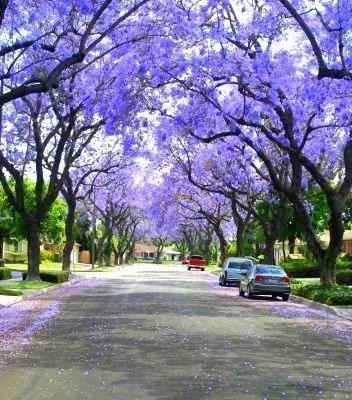 Jacaranda-tree3